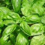 Freezing Basil For Fresh Flavor All Winter