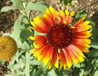 Blanketflower Blossom