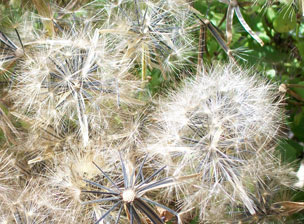Seedheads of Papaloquelite