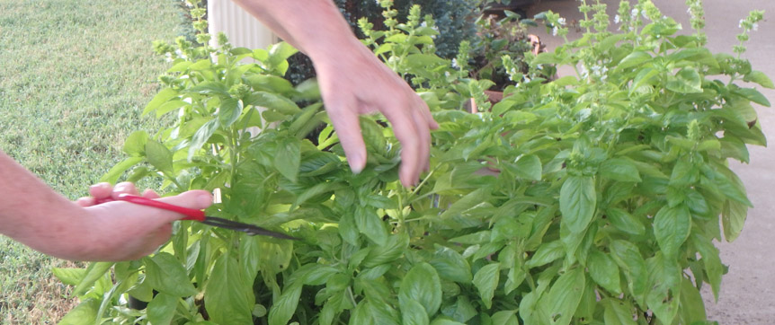 Time to harvest your basil before frost hits.