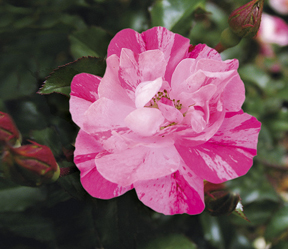 Flower Carpet 'Pink Splash' is one variety in a new line of ground cover roses.