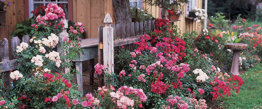 (Original File name; FC Roses, mixed colors C2I046BJ.jpg)