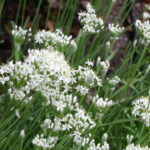 Late Summer Blooming Garlic Chives