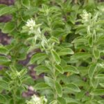 Grow Stevia In Your Garden