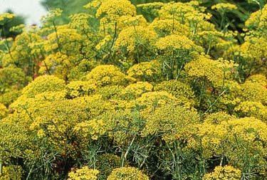 dill fern leaf plant